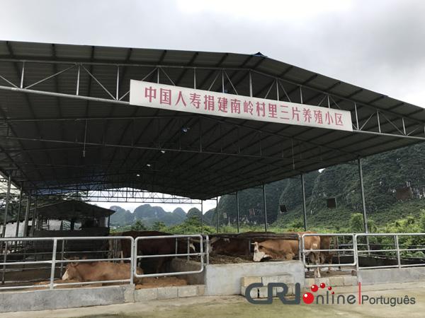 Criação de bovinos de corte ajudam aldeões a sair da pobreza em Guangxi